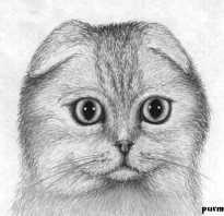 Как нарисовать кошку с розой поэтапно. Рисуем шотландскую вислоухую кошку карандашом