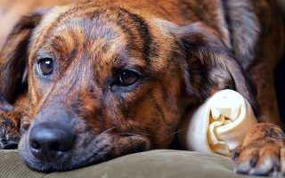 Панкреатит у той-терьера: как определить и что делать? Почему болит живот у собаки: что делать и как понять что живот действительно болит