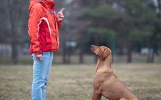 С чего начать дрессировку собаки в домашних условиях. Дрессировка собак в домашних условиях с нуля