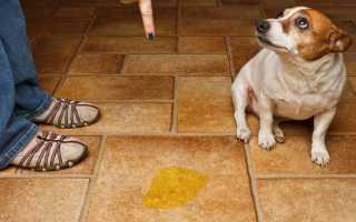 Отучаем собаку писать дома в неположенном месте: мнение специалистов против народных средств. Как отучить собаку гадить и писать дома, проверенные временем методы и средства