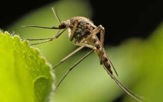 К чему снятся комары с кровью. К чему снятся комары в большом количестве (Сонник), комары во сне