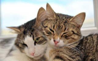 Две кошки в доме, как подружить двух кошек. Как сделать кошку ласковой: полезные советы