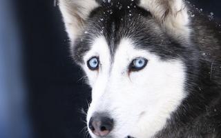 Вирусный инфекционный гепатит у собак, его лечение и симптомы. Гепатит у собак — описание, лечение