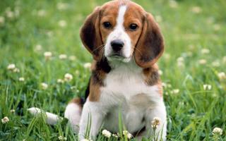 Лабораторные исследования. Признаки пироплазмоза у собак и некоторые методы диагностики