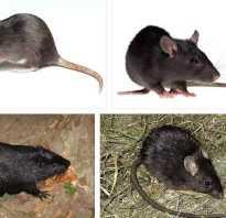 К чему снится черная крыса. К чему снится черная крыса: к мелким неприятностям или к повышению по карьерной лестнице